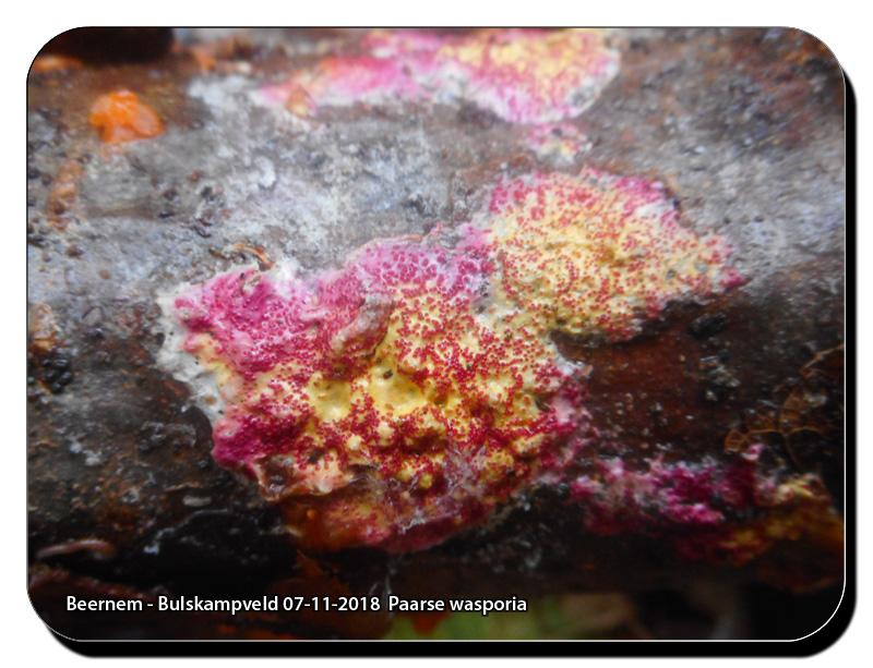 Beernem-Bulskampveld-07-11-2018-Paarse-wasporia