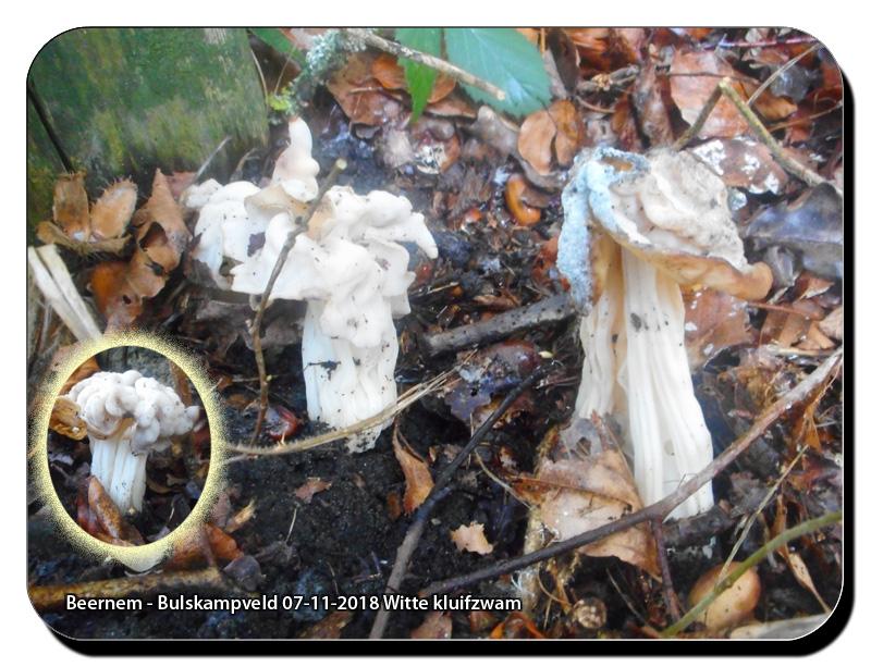 Beernem-Bulskampveld-07-11-2018-Witte-kluifzwam