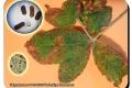 Galgenbossen-18-09-2019-Veelcellige-braamroest