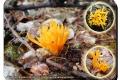 Godtschalckbos 06-09-2017 Kleverig koraalzwammetje