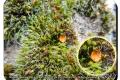 Stasegem kanaalbos en vaartzone  20-09-2017 Muurmosschijfje (op muisjesmos)