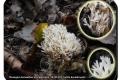 Stasegem kanaalbos en vaartzone  20-09-2017 witte koraalzwam