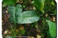 Orveytbos-02-10-2019-Smeerwortelmeeldauw