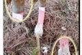 Rhodesgoed-17-10-2018-Roze-stinkzwam