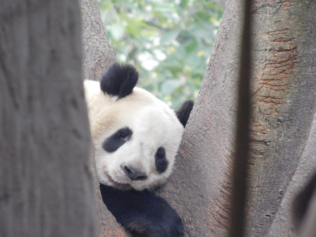 visiting pandas in china
