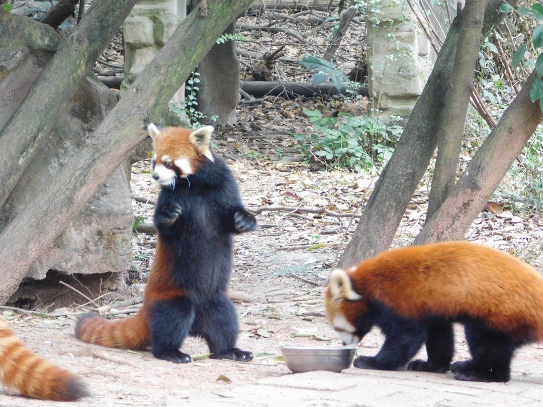 red pandas china