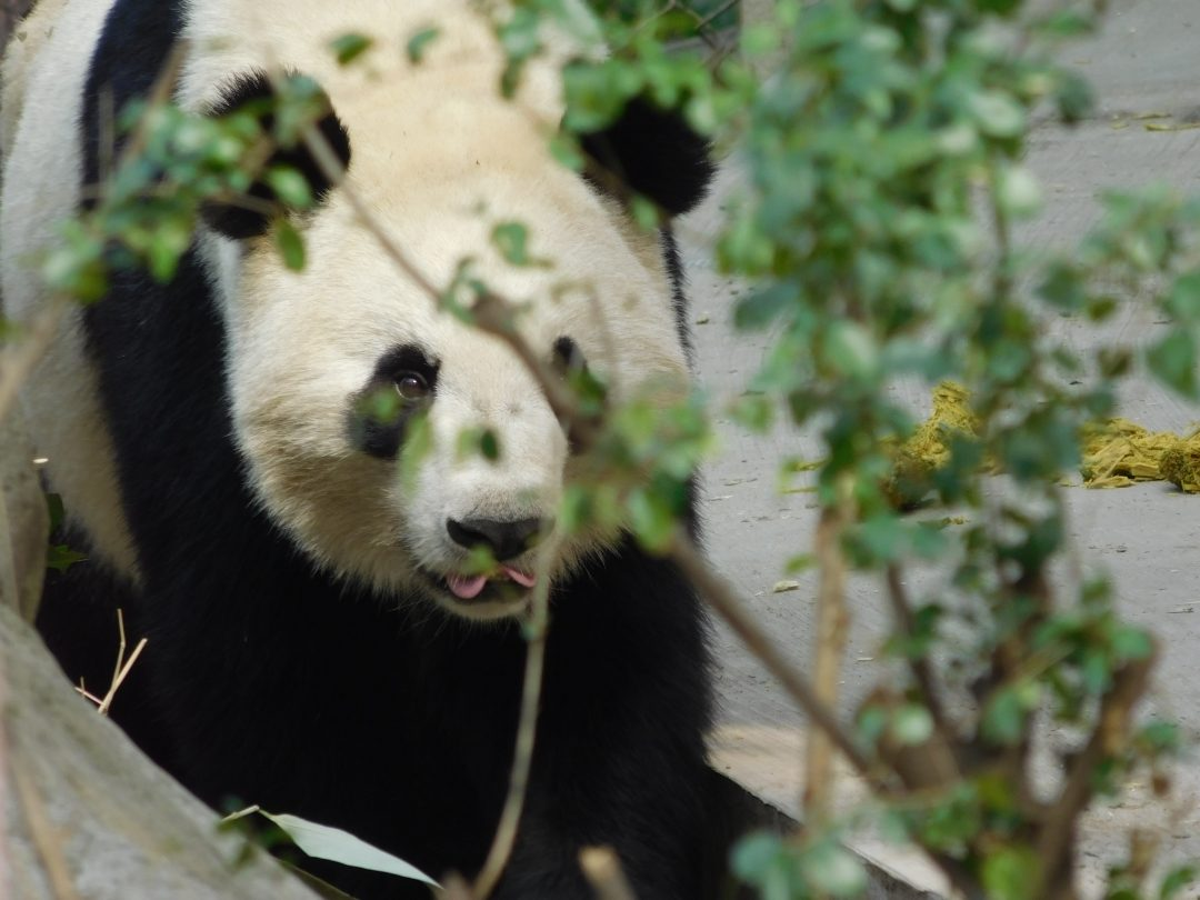 pandas in china not in zoo