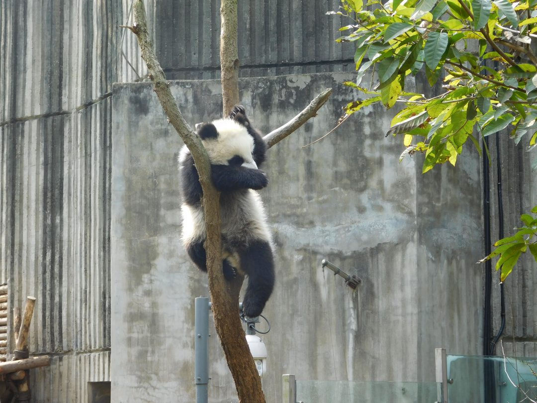 where to see baby pandas