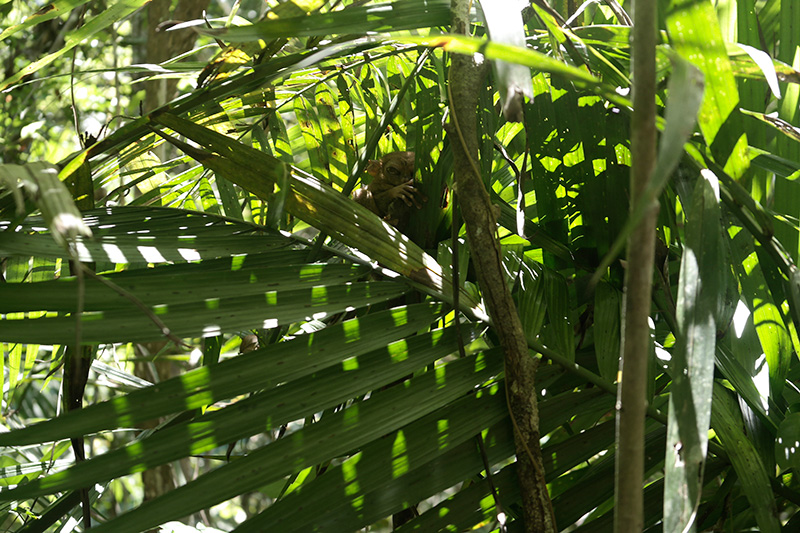 tarsier Philippines