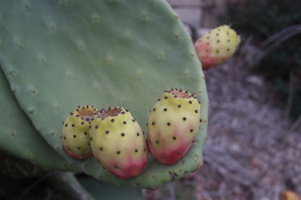 tuna pear prickly pear fruit