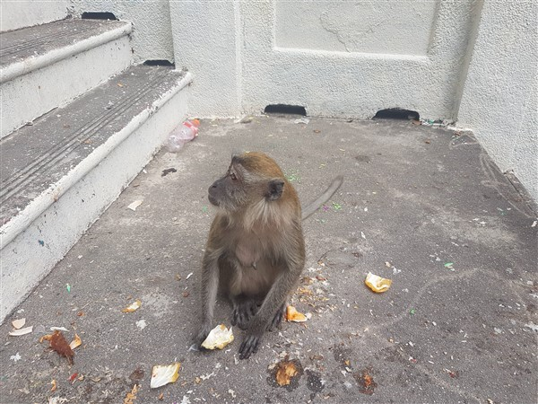 monkey malaysia