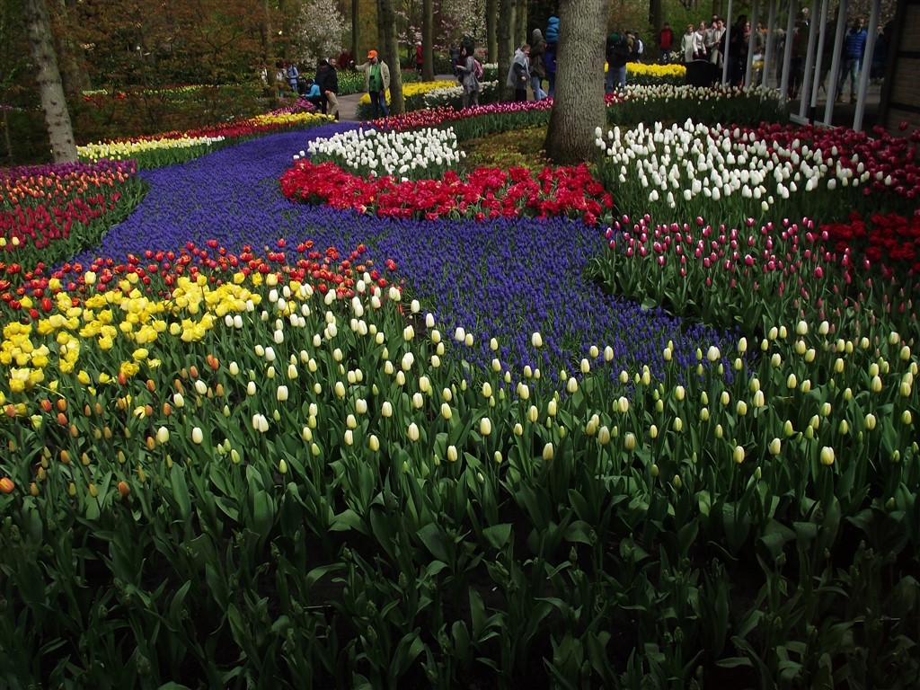 colourful tulips Holland