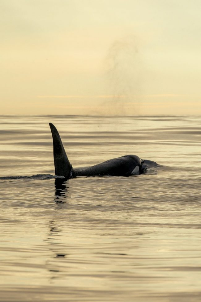 Orca in midnight Natural Hight summer green sustainability nature and wildlife tours travel packs