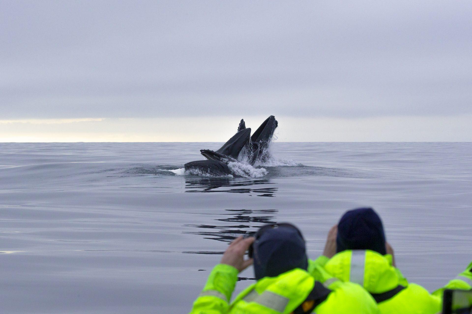 Observing Humpbacks Whales & Orcas Natural High