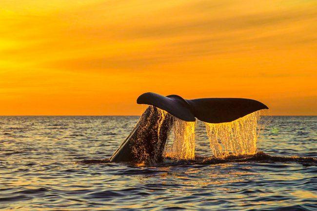 Humpback whale midsummer sun