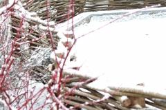 Cornus alba `Sibirica` en wilgenscherm bedekt met sneeuw