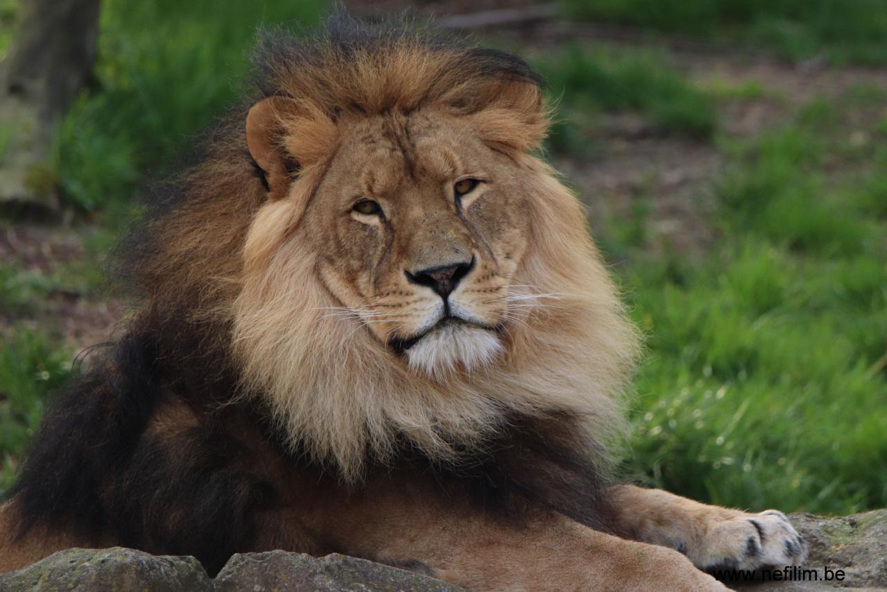 leeuw Nestor