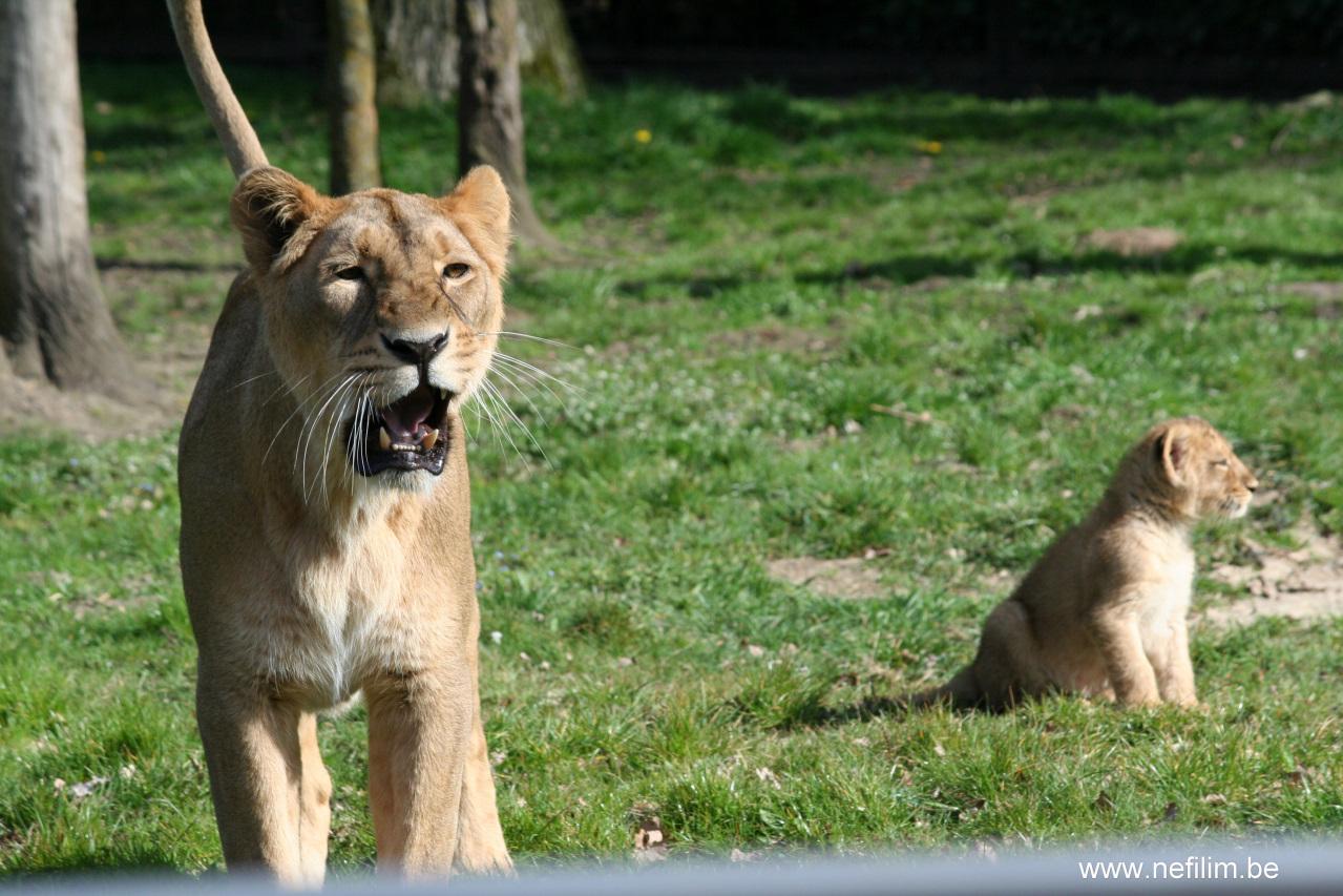 leeuwin met welp