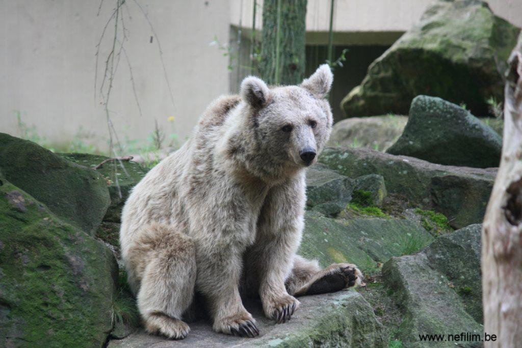 syrische bruine beer