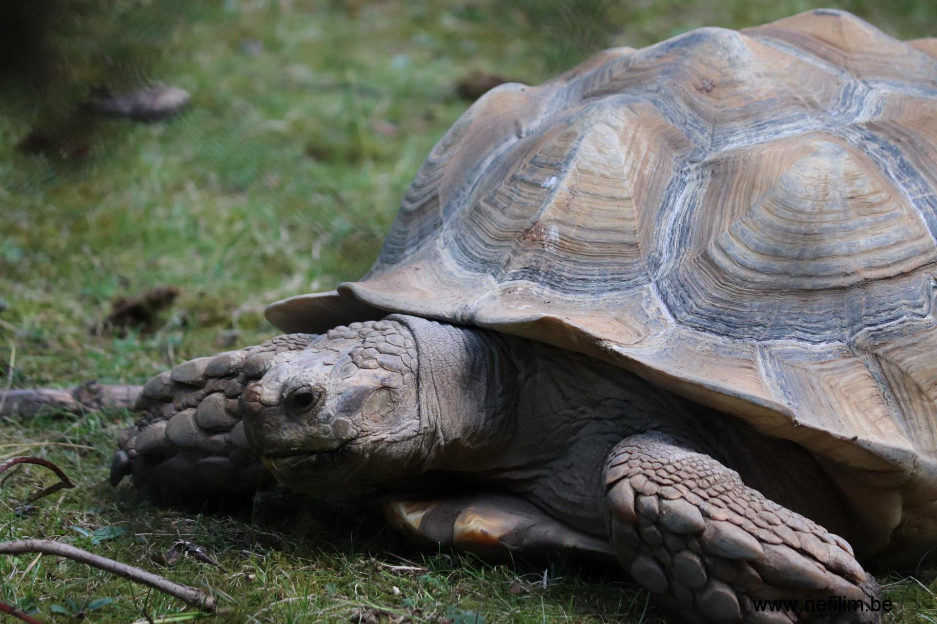 Afrikaanse schildpad