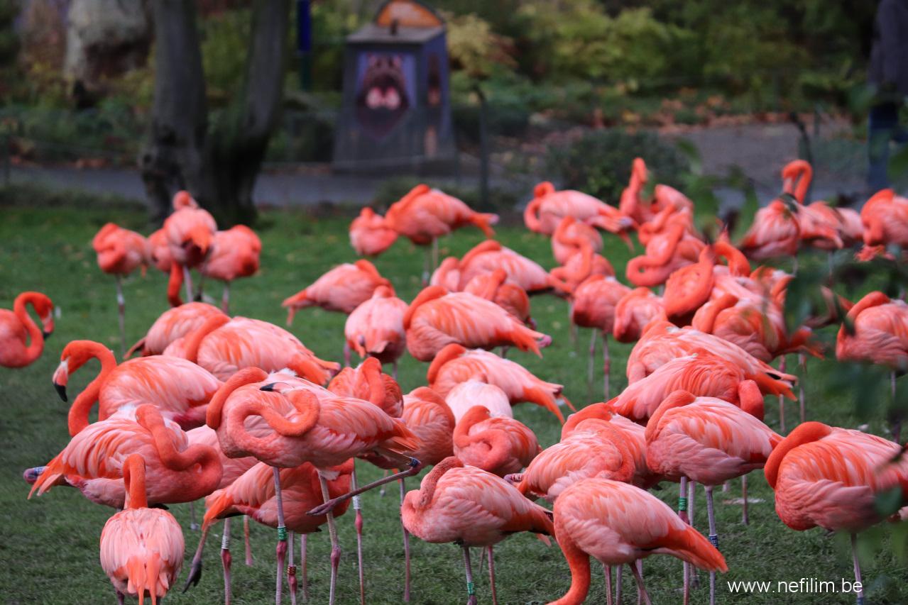 Cuba flamingo