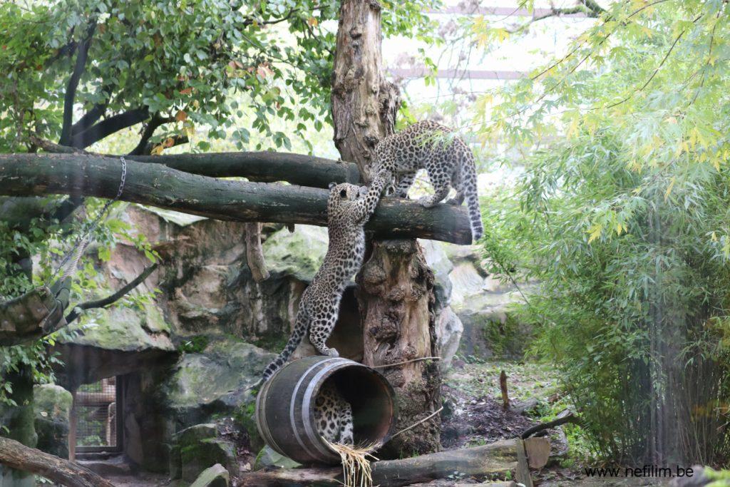 perzisch luipaard