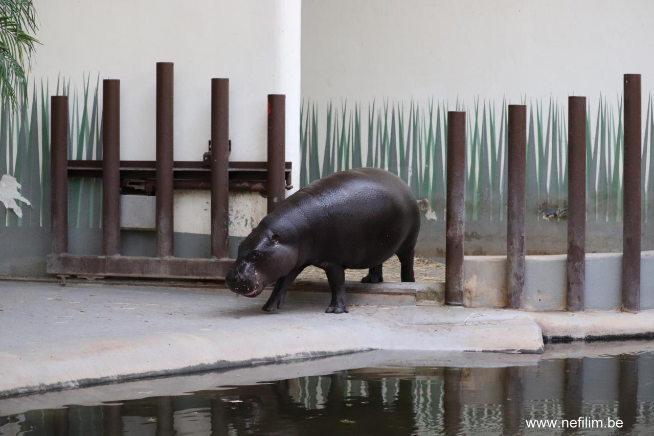 dwerg-nijlpaard