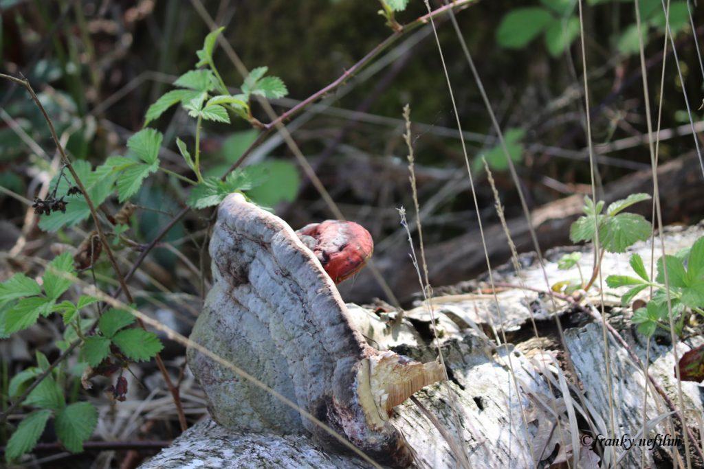 paddenstoel op boom
