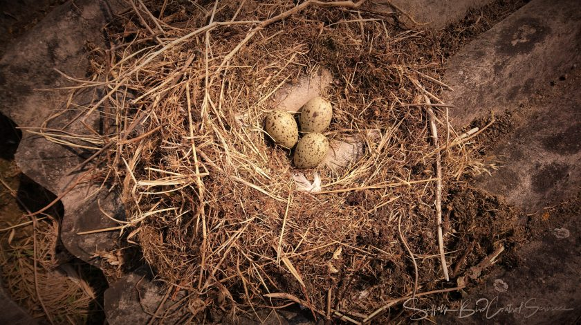 A Gull's Nest in a building