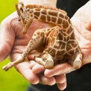 Schoss-Giraffe