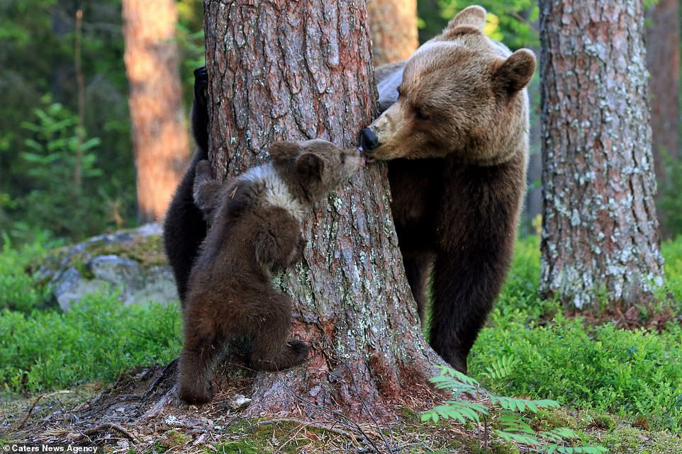 The baby bear was lovingly leaning towards its mother's face when she also leaned in and planted a big kiss on the cub's face