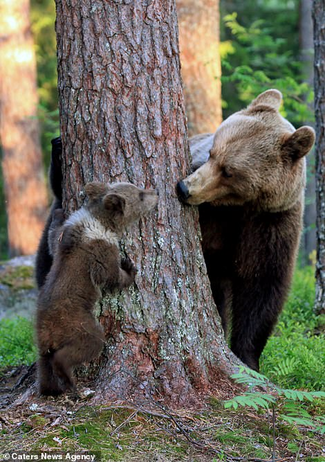 'The bear played with other cubs around the trees too. They climbed trees and went down for kisses,' said Mr Mulkahainen
