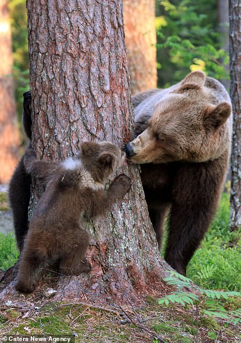 The youngster, latched to the base of the tree, seemed to be playing peek-a-boo with her mother, who got involved