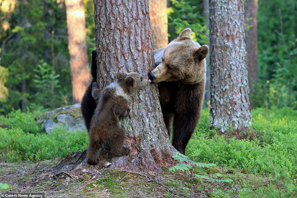 Valtteri Mulkahainen captured the moment a mother bear played with and kissed her cubin the town of Martinselkonen, Finland