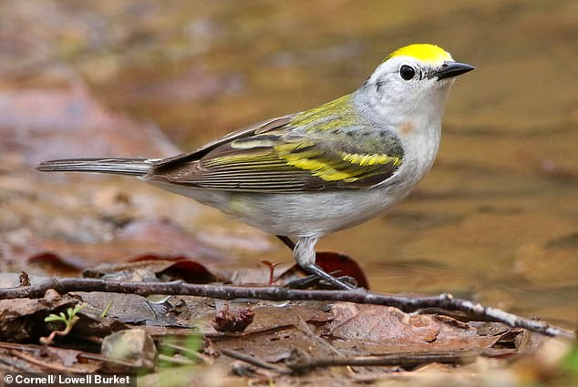 The bird found in Pennsylvania is the offspring of a hybrid warbler mother and a warbler father from an entirely different genus