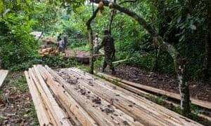 Patrolling guards investigate illegal logging in the western Congo basin.