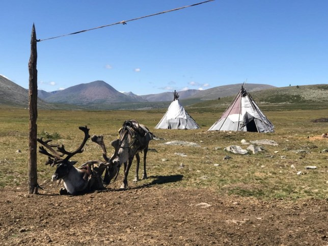 """Embargoed to 1900 Wednesday November 20 Undated handout photo issued by Flinders University of domestic reindeer saddled for riding outside a Tsaatan summer camp in the Khovsgol province of Mongolia. PA Photo. Issue date: Wednesday November 20, 2019. Scientists have said a reindeer-herding community living in the Mongolian mountains are paying the """"first price"""" for climate change due to melting ice. See PA story SCIENCE Mongolia. Photo credit should read: Julia Clark/Flinders University/PA Wire NOTE TO EDITORS: This handout photo may only be used in for editorial reporting purposes for the contemporaneous illustration of events, things or the people in the image or facts mentioned in the caption. Reuse of the picture may require further permission from the copyright holder."""