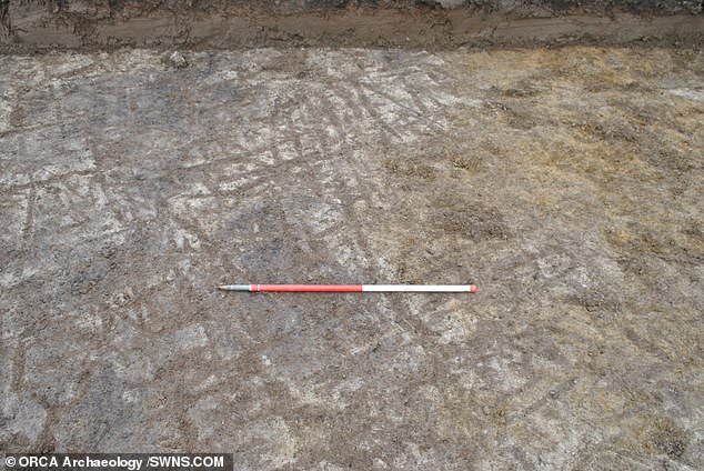 In one of the trenches, long marks were found cut into the clay subsoil, pictured, which were made by ards — a type of stone-based ploughs — providing evidence that prehistoric farming took place in Orkney
