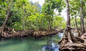 Some south-east Asian firefly species only live along riverbanks in threatened mangrove forests.
