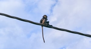 Monkey on a wire … a langur in Malaysia.