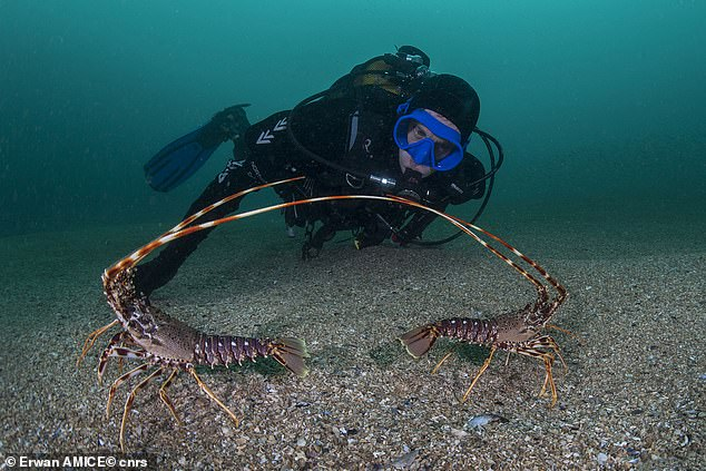 Pictured, the defensive behaviour of two spiny lobsters. Scientists found the sounds produced by bigger lobsters travelled further than rasps from smaller individuals
