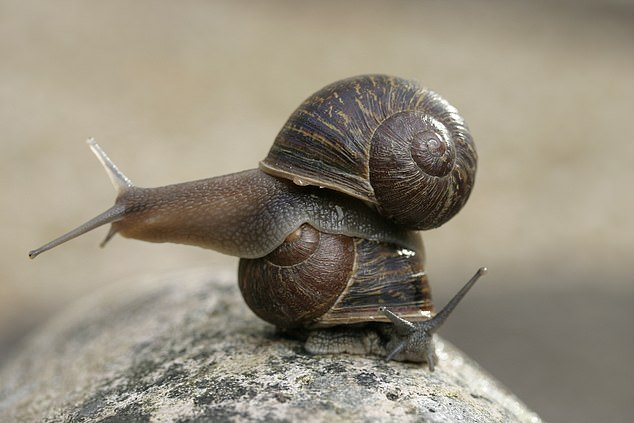 Scientists bred 40 left-coiling snails and hatched more than 15,000 offspring over three generations. A campaign to collect the snails was launched with Jeremy (pictured top sitting above an ordinary right sided snail)