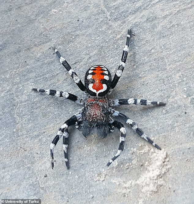 The velvet spider is not likely to be venomous for humans, but it may have some venom, potent for killing insects