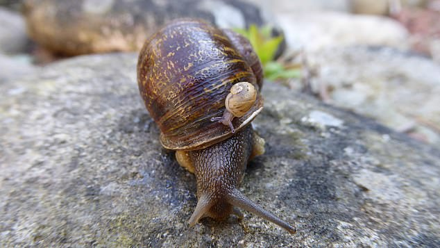 Scientists found that the babies from two left-coiling snails were always right-coiling, leading them to the conclusion that it was most likely a development defect