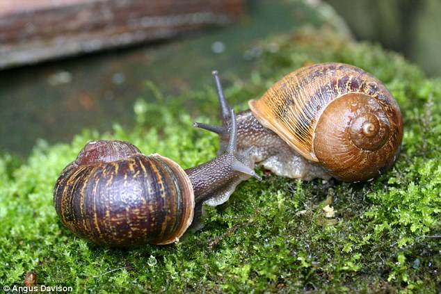 The French snails suggested there may be a recessive gene for left-coiling. However, it was so rare scientists concluded the rare coils are more likely to be a developmental defect. Pictured above is Jeremy on the left with a potential mate