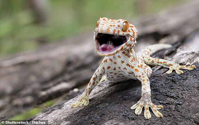 Almost four-fifths of the 3,943 reptile species that are sold as pets online have been left vulnerable by a lack of trade regulations, a study has found. Pictured, a tokay gecko