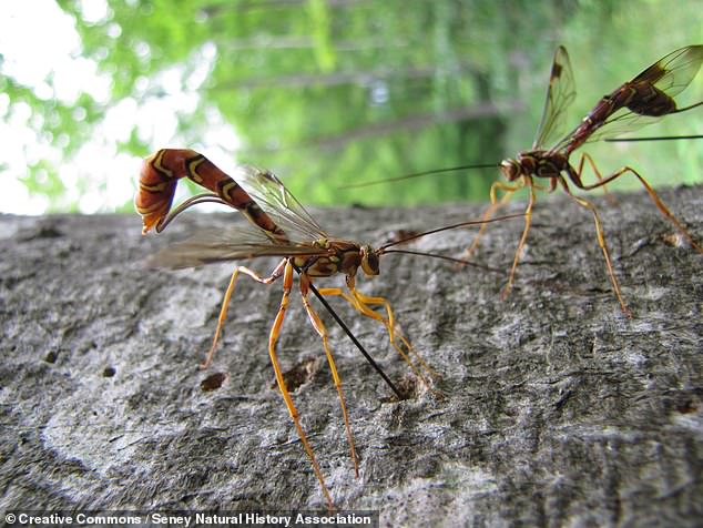 Researchers from the Netherlands based their prototype on the ovipositor — a long needle-like tube that protrudes from the rear of some wasps, pictured. The parasitic insects use their ovipositor to inject eggs into the bodies, eggs and boreholes of its hosts