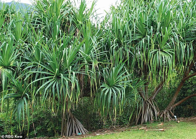 Pandanus tectorius, a drought-tolerant species of pandan. Pandanus tectorius trees are either male or female. Female trees produce a large, segmented fruit somewhat resembling a pineapple