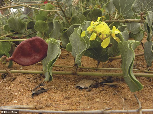 Morama bean, a drought-tolerant South African legume, with seeds that when roasted taste similar to a cashew nut and can be boiled or ground to a powder to make porridge or cocoa-like drink