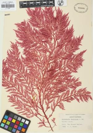 Victorian-era seaweed collected in California.